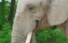 Find An Elephant For A Wedding
